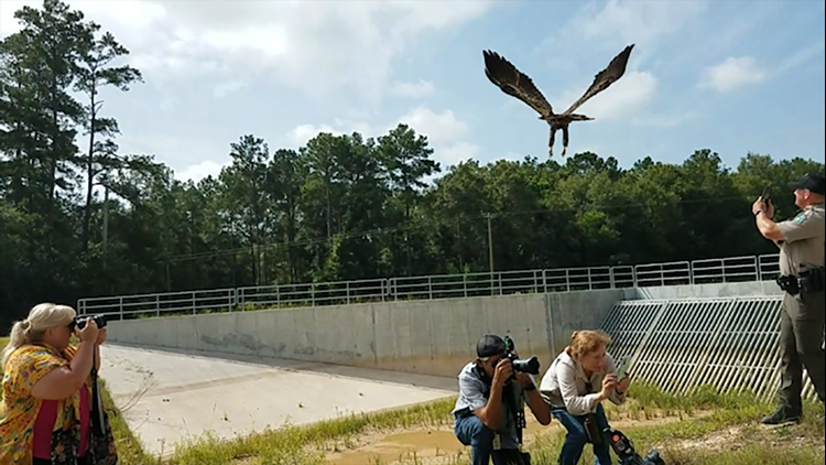 Back where he belongs   Bald eagle released back into wild after being nursed back to health at Wildlife Center of Texas