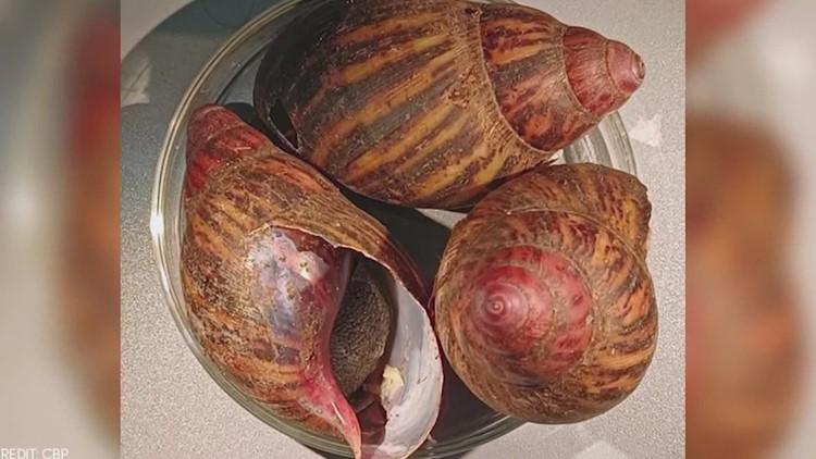 15 giant snails capable of causing rare forms of meningitis seized at George Bush Intercontinental Airport