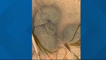 Invasive giant snails found in Katy community