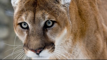 Social media tipped off authorities to Yellowstone mountain lion poachers