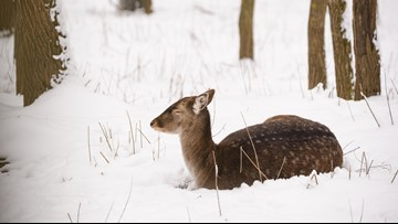 There's no such thing as a 'zombie' deer disease: The truth about CWD
