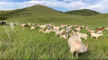 Here's why 250 goats are roaming around Green Mountain