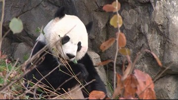 Bei Bei Says Bye Bye, Is Shipped Via FedEx to China