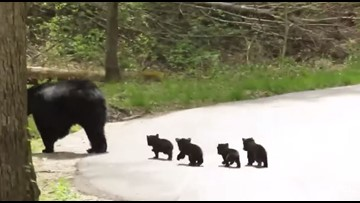 Momma bear & four tiny cubs adorably cross the road