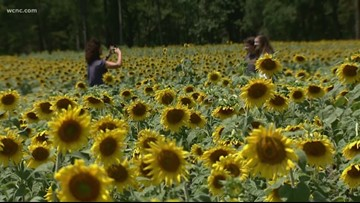 'Our gift to the community' | NC farmer grows field of sunflowers to bring others joy