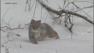 Spectacular video shows bobcat stalking squirrels