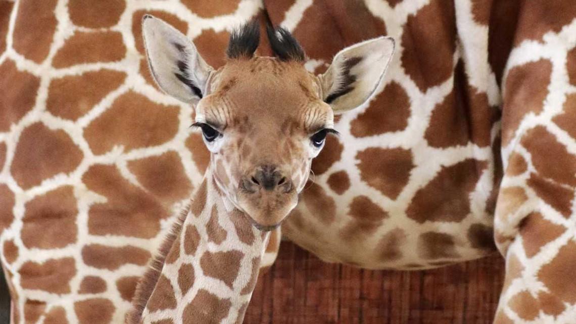 Dallas Zoo giraffe named for Jason Witten dies suddenly