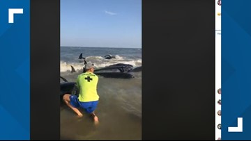 Video shows 47 pilot whales beached on St. Simons Island