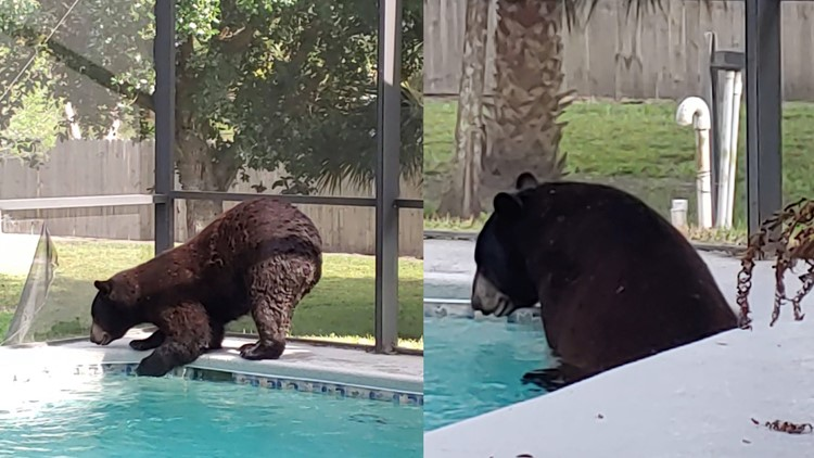 Bear takes dip in homeowner's pool in Florida