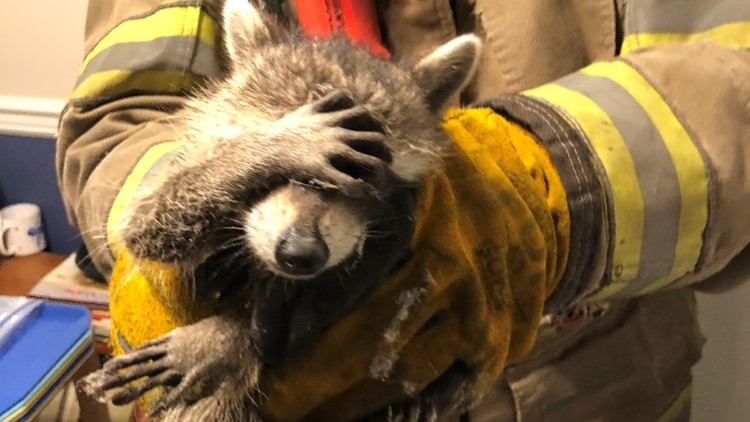 'Embarrassed' raccoon rescued by firefighters, photo goes viral