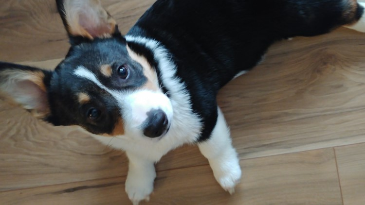 People are returning so many Corgi puppies, rescuers can't take in more