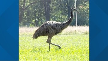 North Carolina county officials locate emu on the loose, create plan to capture him